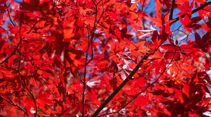 【即時紅葉。持續更新】日本北陸、中部秋季紅葉照片(2015.10) 《下卷》